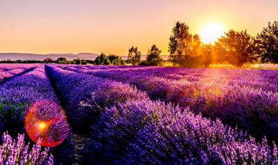 Lavendelvelden